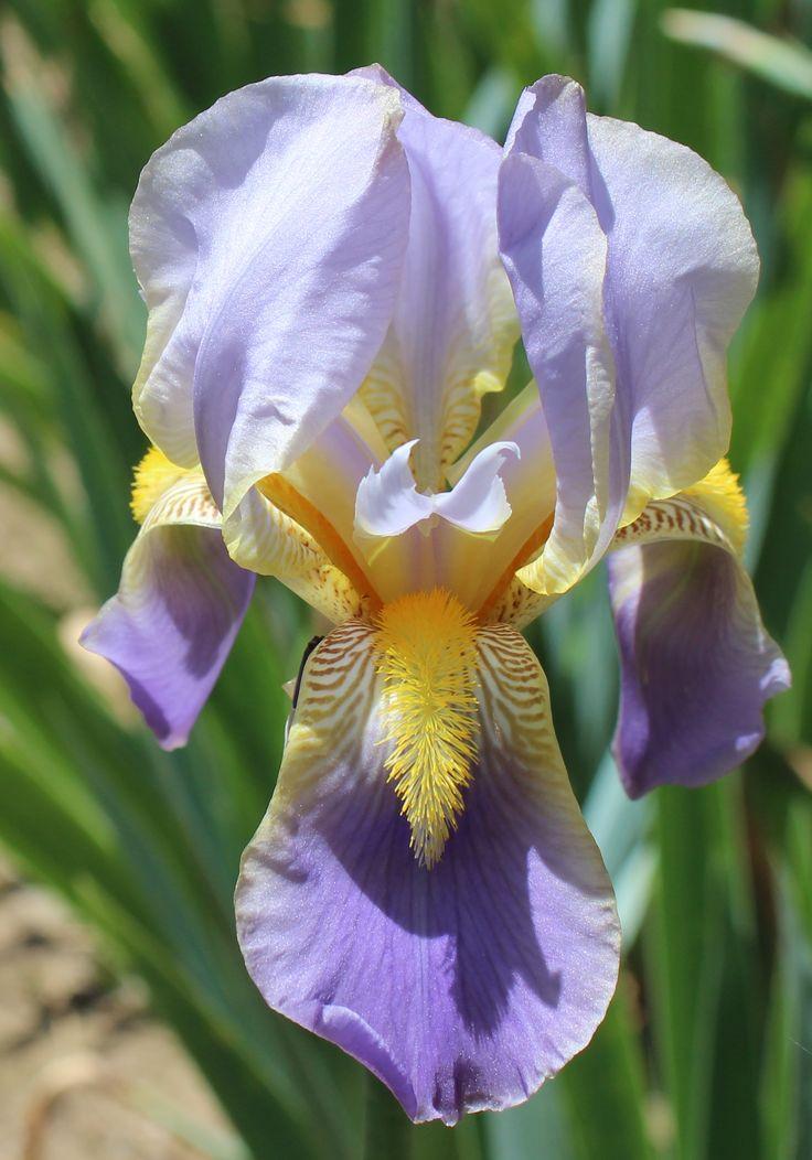 139 best heirloom iris images on pinterest bearded iris irises and beautiful flowers. Black Bedroom Furniture Sets. Home Design Ideas
