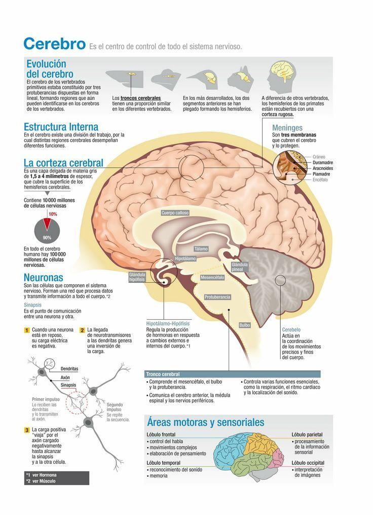 ¿Como funciona el cerebro humano? #cerebro #infografia                                                                                                                                                                                 Más