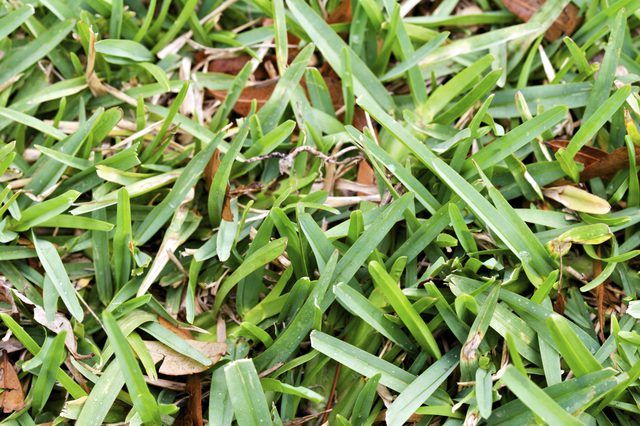 Why Is My St Augustine Grass Yellow Hunker St Augustine Grass St Augustine Grass Care Grass Care