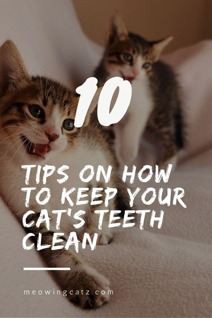 Top 10 Tips On How To Keep Your Cat S Teeth Clean Teeth Cleaning Cats Cat Care