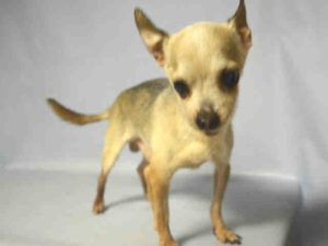 08/03/2016 SUPER URGENT Brooklyn Center NYC HELP RESCUE / ADOPT SENIOR BAMBI – A1082639  MALE, CREAM / BLACK, CHIHUAHUA SH MIX, 14 yrs, intact male, they want to castrate him at his age, how can this be right?! He allowed all handling, this old timer urgently needs a rescue and dental work, he has a angular limb deformity which does not seem to give him any trouble, Intake Date 07/25/2016, From NY 11412, past Due Out Date 07/28/2016.