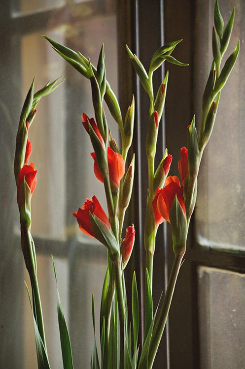Red Gladioli in a Window - Fine Art Photograph by Around the Island Photography