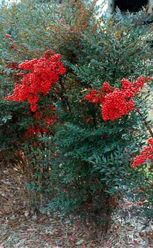 17 Best images about Flowering Evergreen Shrubs on ... Nandina Domestica Compacta