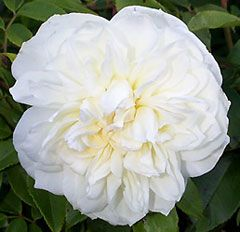 LAMARQUE - climbing rose