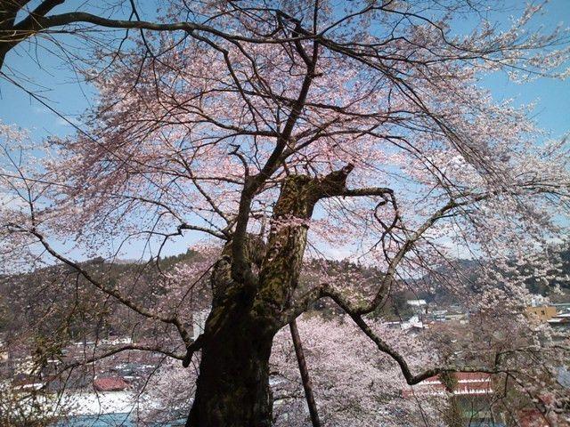 「高田桜(エドヒガン桜)」 母畑温泉周辺の観光スポット