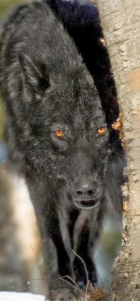 Black Wolf Get Informed with Worthy Readings. http://www.dailynewsmag.com