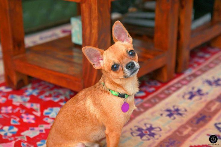 #dog #doggie #pup #puppy #dogofpinterest #dogsofpinterest #love #crush #animal #chihuahua #pet