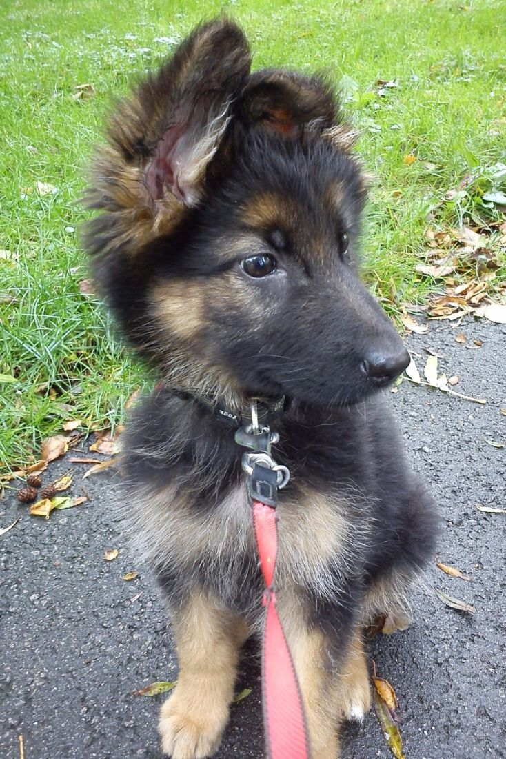 Nice look :)))) Cute German Shepherd