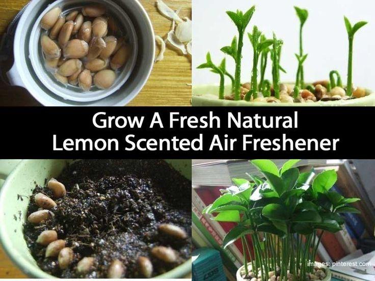 Growing lemon seedlings to make your own air freshener...