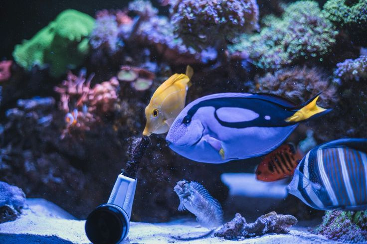 Reef tank fish