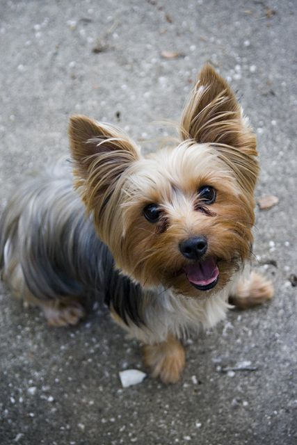 Pictures of Yorkshire Terrier Dog Breed