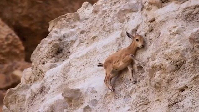 Amazing baby Ibex cling to wall for safety as a fox waits nearby in the Mountains episode of Planet Earth season 2