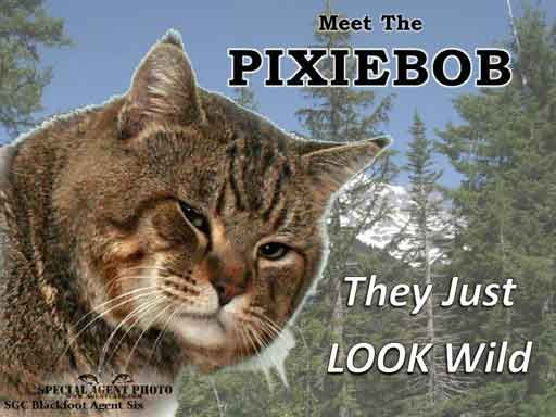 Common Questions About Pixie Bob and Savannah Cats
