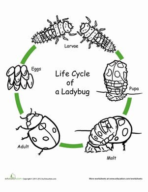 color the life cycle ladybug plants and animals. Black Bedroom Furniture Sets. Home Design Ideas