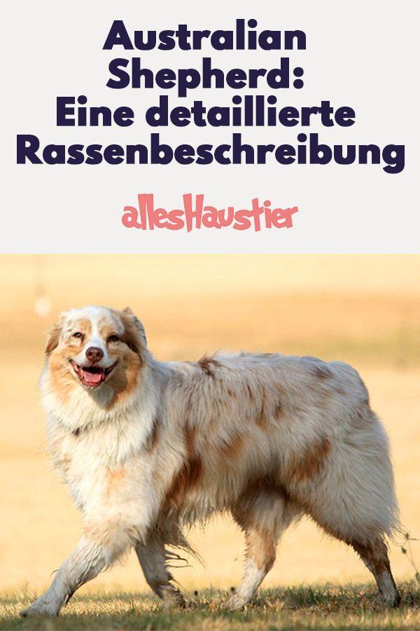 Hunderasse Australian Shepherd Eine Detaillierte Rassenbeschreibung Hunde Rassen Australian Shepherds Hunde