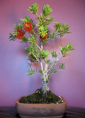 Photo du bonsai : Callistemon (Callistemon citrinus)