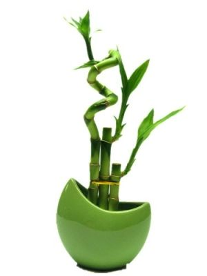 9greenbox | 9GreenBox - Live Spiral 3 Style Lucky Bamboo Plant Arrangement w ...