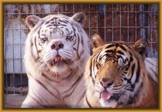 Imagenes de los tigres uanl para fondo de pantalla