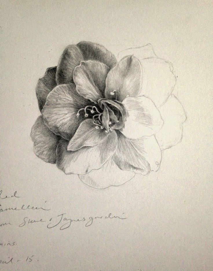 Dianne Sutherland: Day 12 Unfinished Camellia Drawing, Plus some Graphite Tips