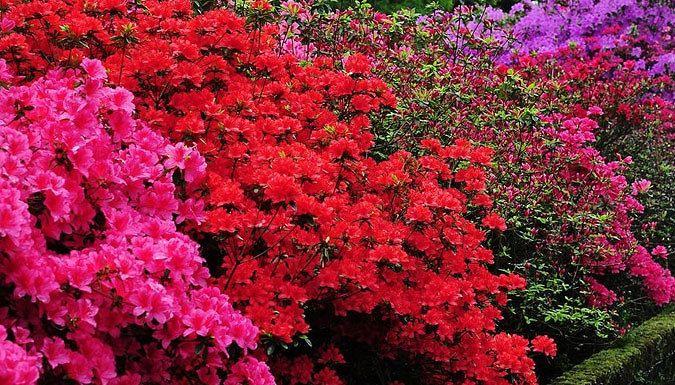 25 best ideas about azaleas on trees flowering trees and myrtle tree