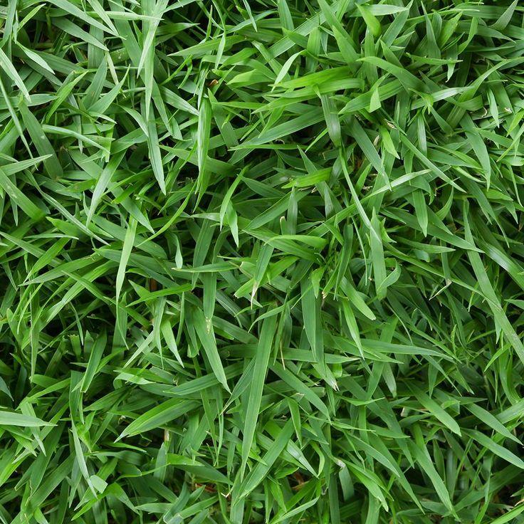 Best 25 Zoysia Sod Ideas On Pinterest Zoysia Grass Box