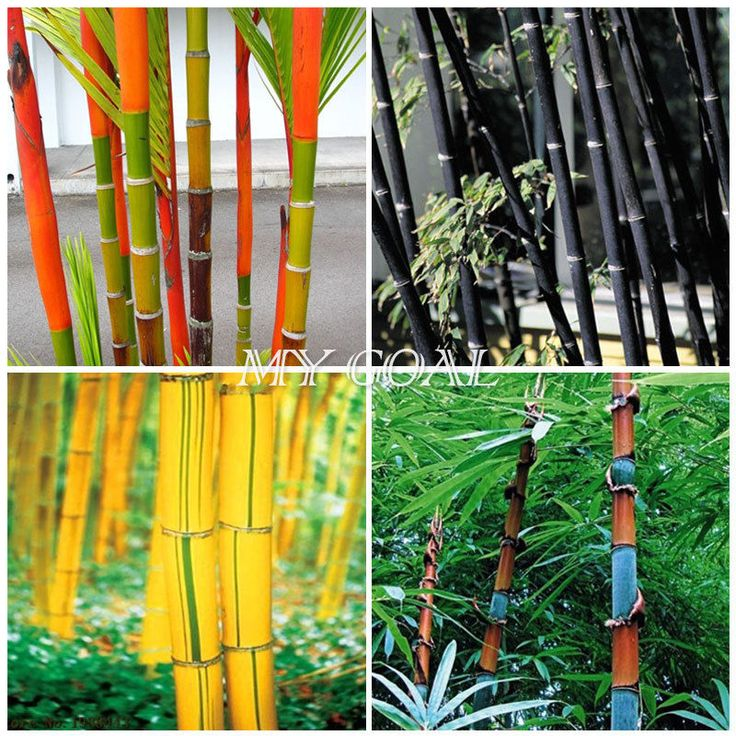 100Pcs Phyllostachys Pubescens Moso-Bamboo Seeds Garden Plants Black Tinwa Color | eBay