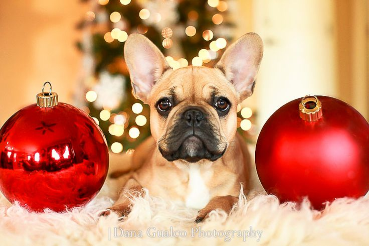 How to photograph your dog. Holiday pictures with your dog. French Bulldog Puppy. Frenchie Love. Frenchies. Cute Frenchies. Christmas Photography.
