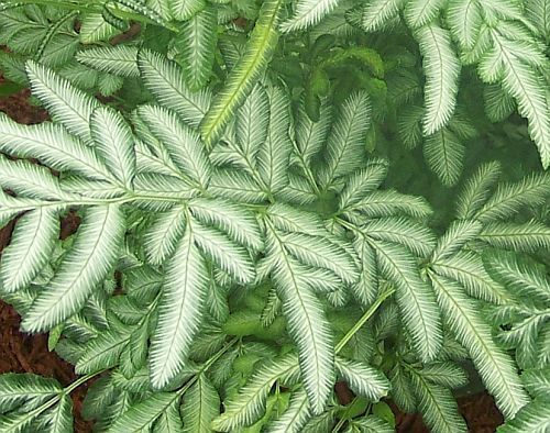 Pteris ensiformis  silver lace fern - sword brake fern seeds  Pteris ensiformis, the silver lace fern or sword brake fern is native to the tropical areas of Africa and Asia. It grows well as a house plant and the white-green swords are very attractive. Pteris ensiformis is also used as a herbal drink in Taiwan. XX