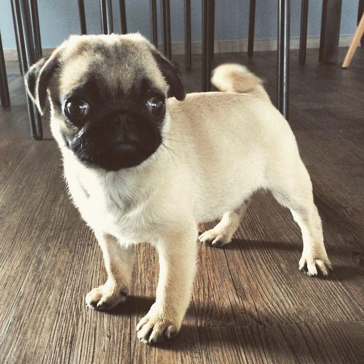 Frank our little pug