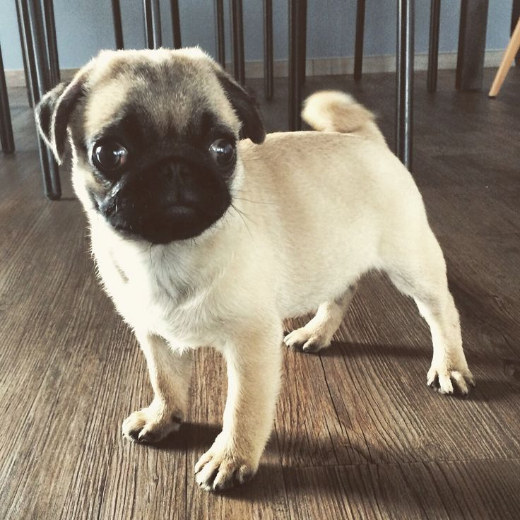 Frank our little pug