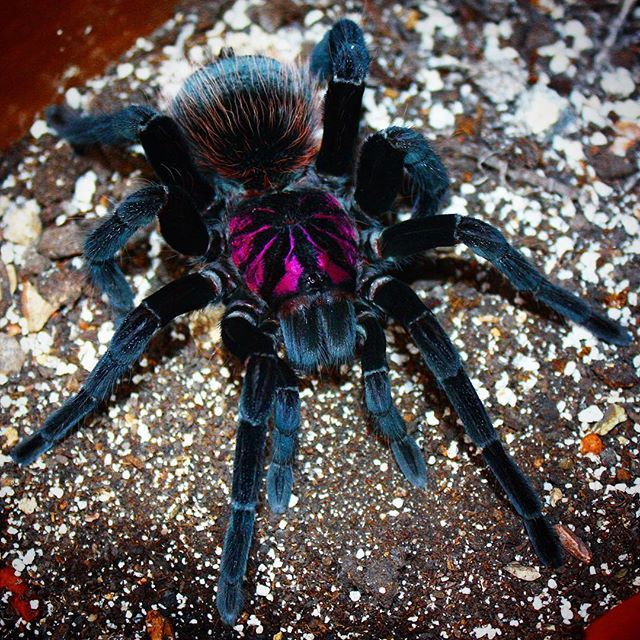 "Amazon Blue Bloom Tarantula (xenesthis intermedia) ~ Miks' Pics ""Arachnids and  Insects l"" board @ http://www.pinterest.com/msmgish/arachnids-and-insects-l/"
