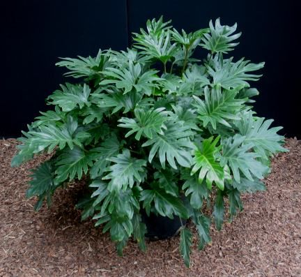 popular for their lush foliage and dramatically lobed leaves. Many are climbers, and do well as indoor plants in brightly lit positions. Phildendron Xanadu is an evergreen, low shrub with a compact, tidy growth habit and attractive lobed leaves. It rarely exceeds 1x1m, and usually grows to around 75cm (2'6″) high. Best climate: Xanadu can be grown in the garden in tropical and subtropical Australia and in warm temperate coastal areas.