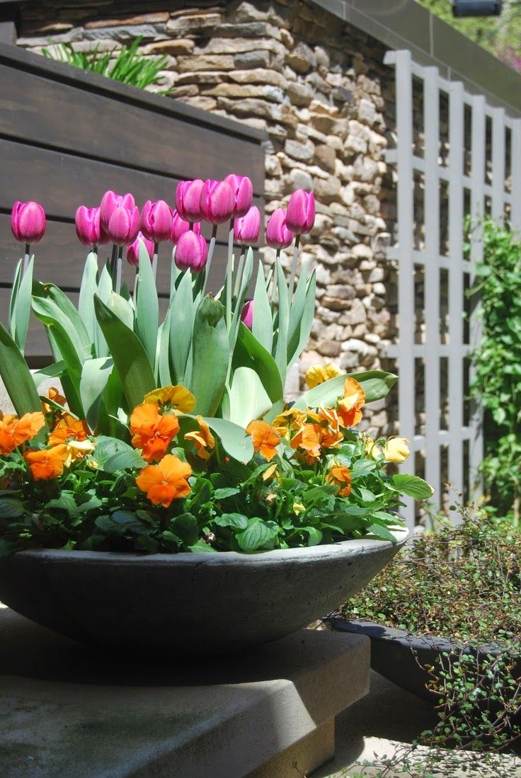 Spring container planting Tulips Pansies Cement urn