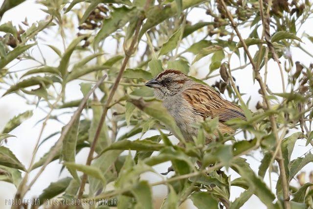 mis fotos de aves: Rhynchospiza strigiceps Cachilo corona castaña Str...
