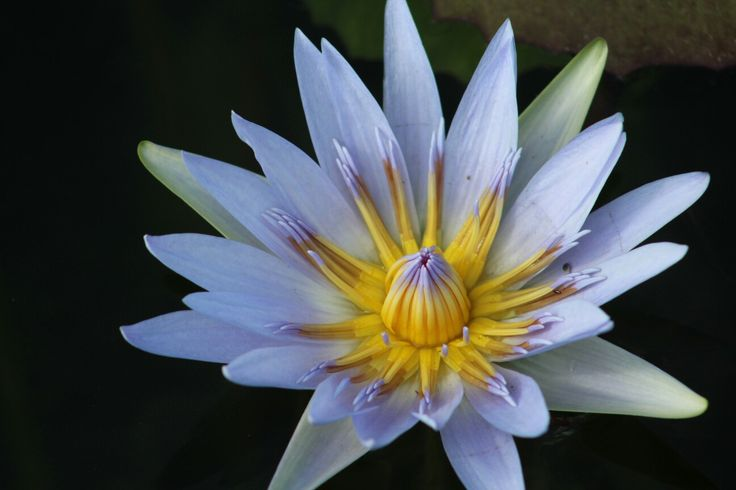 The vibration colours of a cape blue waterlily