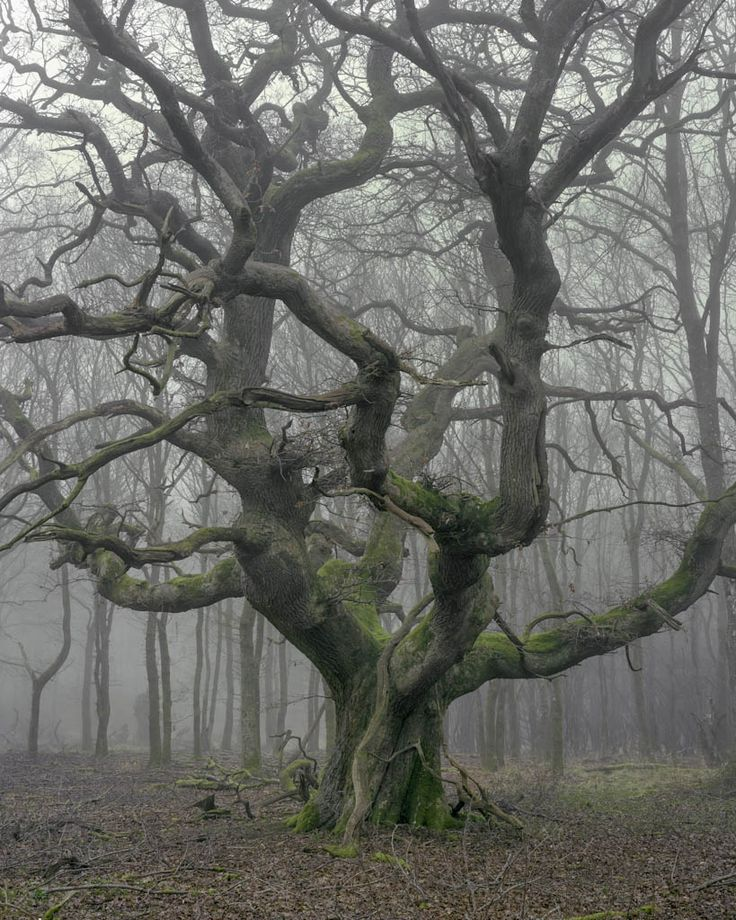 Oak in winter mist - Savernake Forest Image by Joseph Wright                                                                                                                                                                                 More