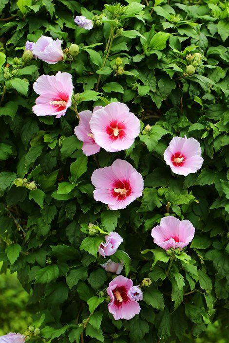 Learn How To Grow And Care For Rose Of Sharon Plants And Other Types