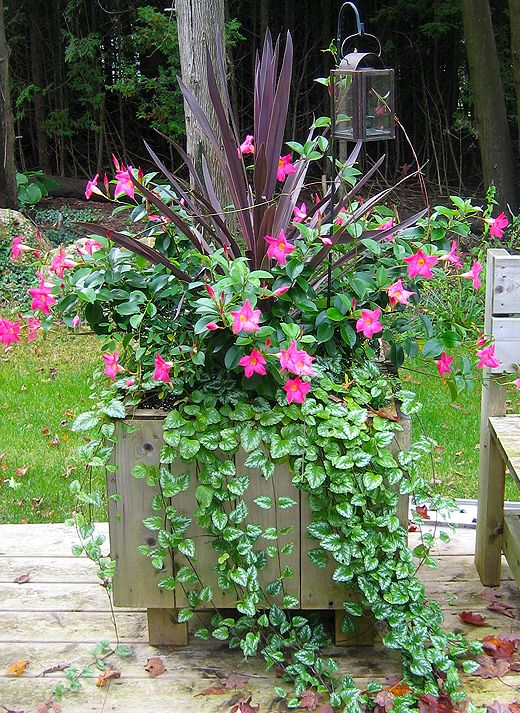 Growing Mandevilla: 44 Best Images About Rio™ Dipladenia On Pinterest