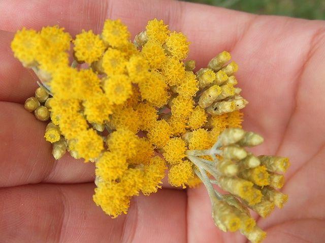 flor de caril