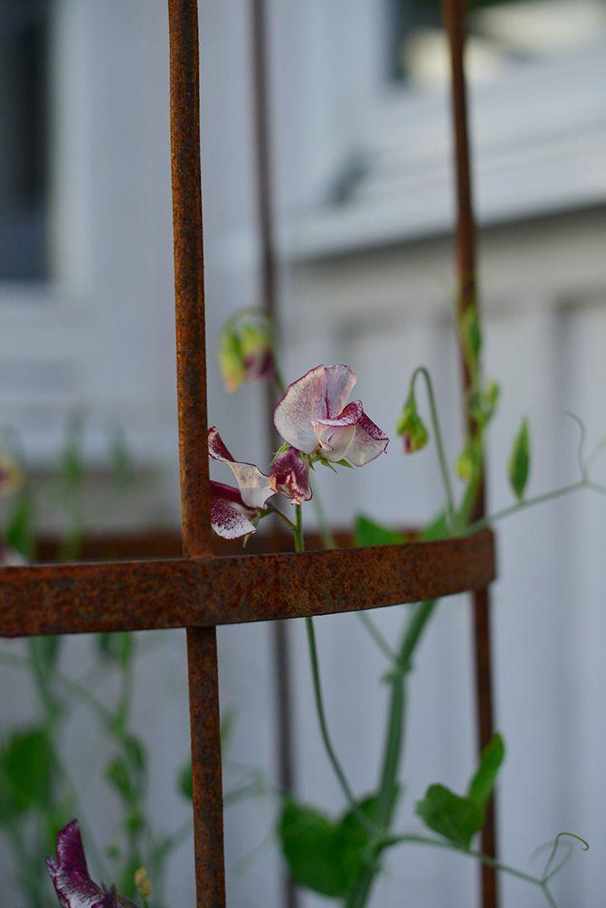 Luktärten heter 'Wiltshire Ripple' och är som en doftande karamell slingrandes på järnspaljen. Det ser ut som någon stänkt en pensel med röd färg på de vita blommorna. Den har en fin doft, men kanske inte riktigt lika långa stjälkar som de andra sorterna.