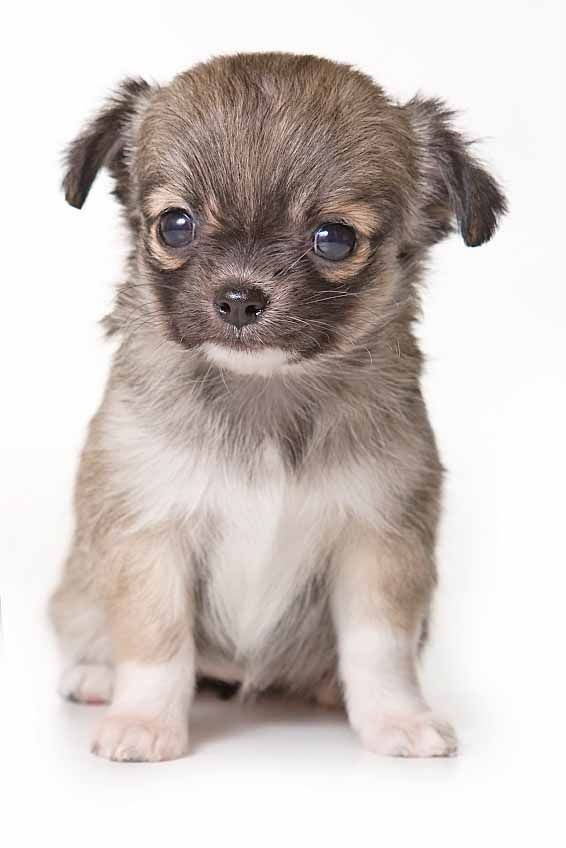 Chihuahua Puppy Looking For A Name Cutepuppymalenames Small