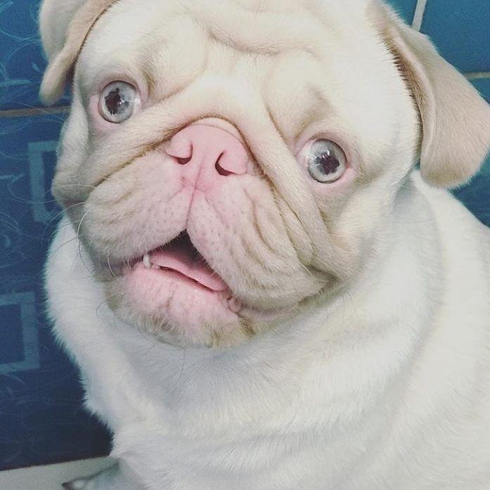 Beautiful Pug Pug Puglife Pugoftheday Pugpuppy Pugs