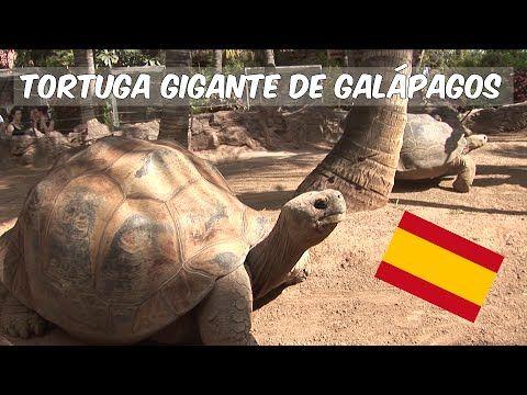 En Loro Parque podrás descubrir diversas especies de tortugas, desde las fabulosas gigantes de Galápagos, que son las más grandes del mundo con casi 2 metros...