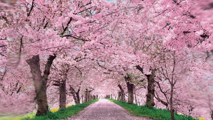 Brooklyn Top 3 Events This April Beauty News Nyc The First Online Beauty Magazine Cherry Blossom Wallpaper Cherry Blossom Pictures Blossom Trees