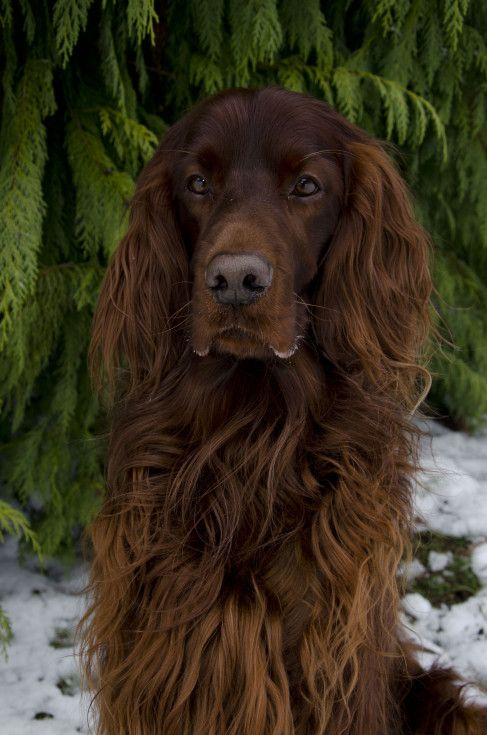 Irish Setter ~ Classic Look & Trim