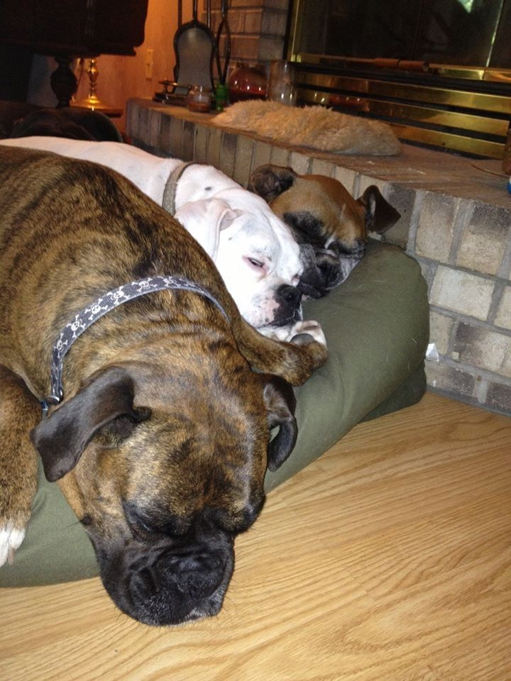 17 best images about boxer dogs one is mine and two were mine on pinterest tiny. Black Bedroom Furniture Sets. Home Design Ideas
