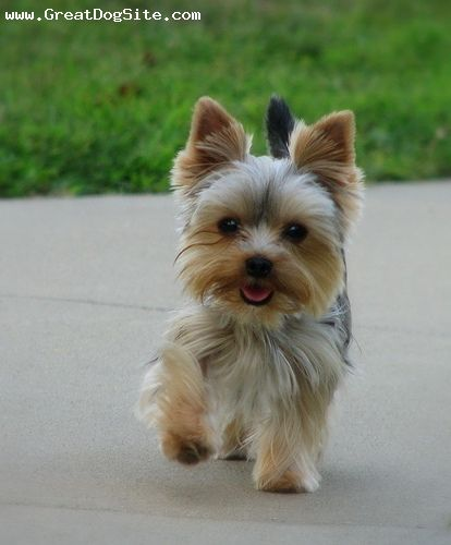 Yorkie swagger