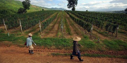 Le vin birman à la conquête des touristes
