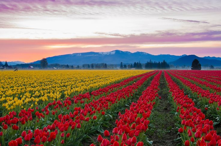 Skagit Valley Tulip Fields, Washington | 29 Surreal Places In America You Need To Visit Before You Die