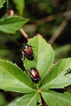 Japanese Beetles, how to get rid of them. They are always all over my St. John's Wort and Green Beans.